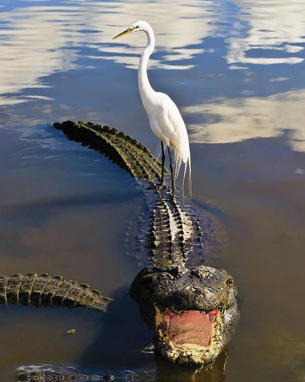 Florida Landscapes Art Print featuring the photograph Egret Hitching A Ride by Betty Eich