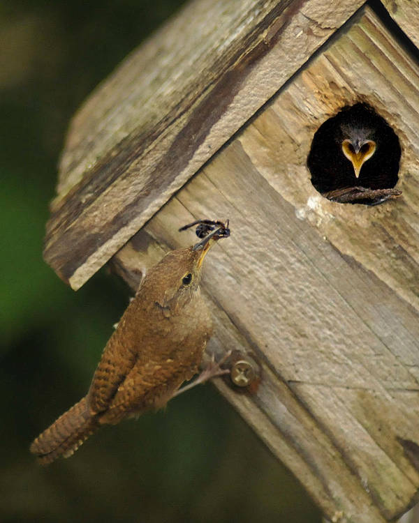 Wren Art Print featuring the photograph Feeding Baby by Don Wolf