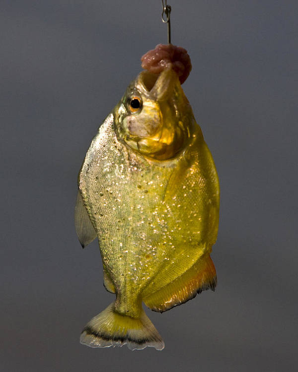 Amazon Art Print featuring the photograph Fresh Piranha by Robert Selin