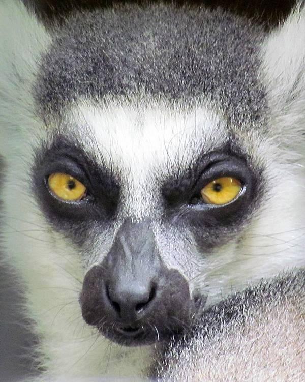Lemur Art Print featuring the photograph Go Ahead--make My Day by Lori Pessin Lafargue