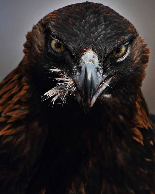 Vertical Print featuring the photograph Golden Eagle Feeding by Pat Gaines