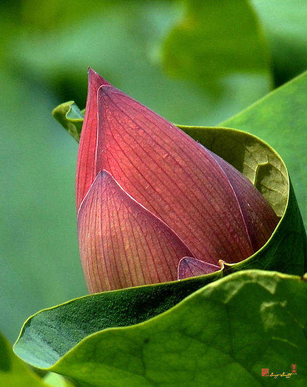 Nature Art Print featuring the photograph Lotus Bud--bud In A Blanket Dl049 by Gerry Gantt