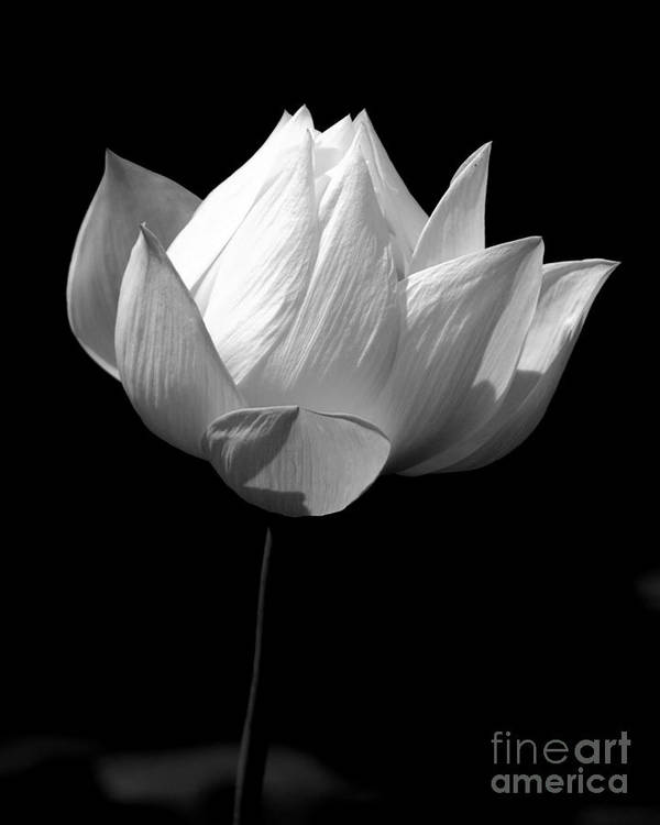 Floral Art Print featuring the photograph Lotus Bw by Mark Gilman