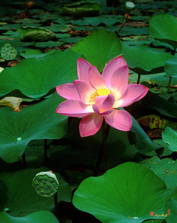 Nature Art Print featuring the photograph Lotus Flower And Capsule 24a by Gerry Gantt