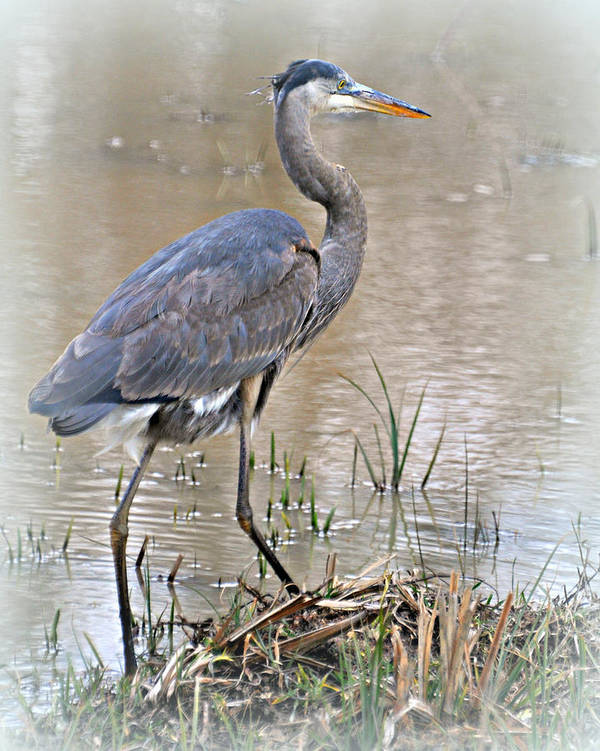Bird Art Print featuring the photograph Mingo Great Blue by Marty Koch
