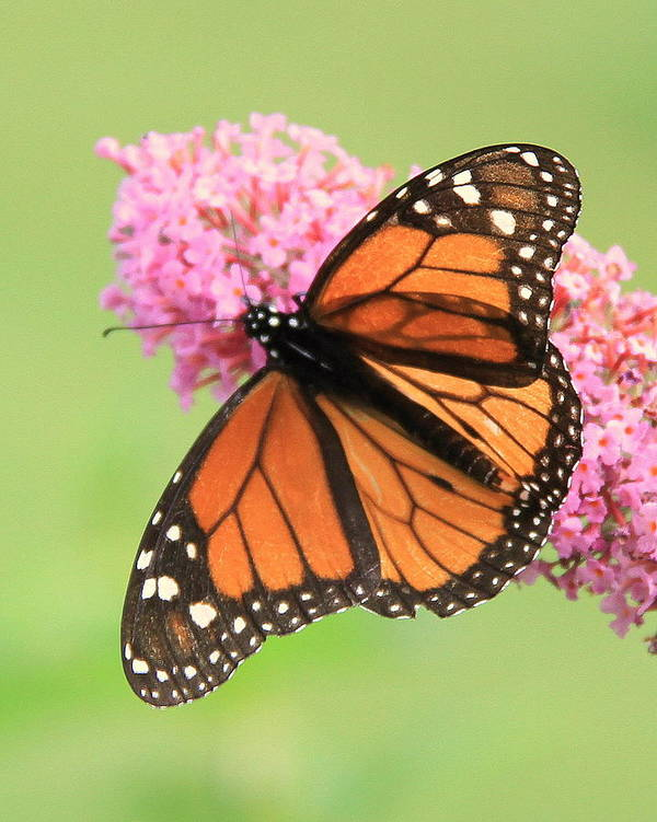 Monarch Butterfly Art Print featuring the photograph Monarch On Blossoms by Don Downer