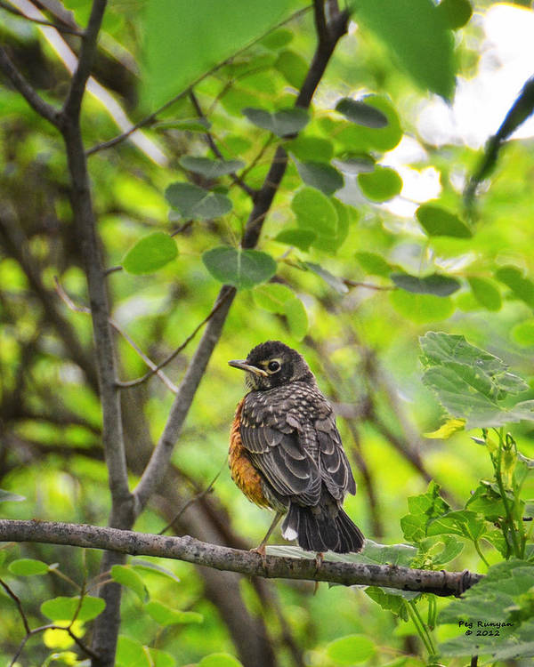 Robin Art Print featuring the photograph Robin In The Woods by Peg Runyan