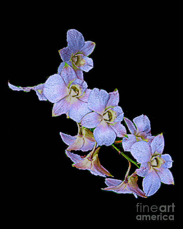 Orchids Art Print featuring the photograph String Of Light Blue Orchids by Merton Allen