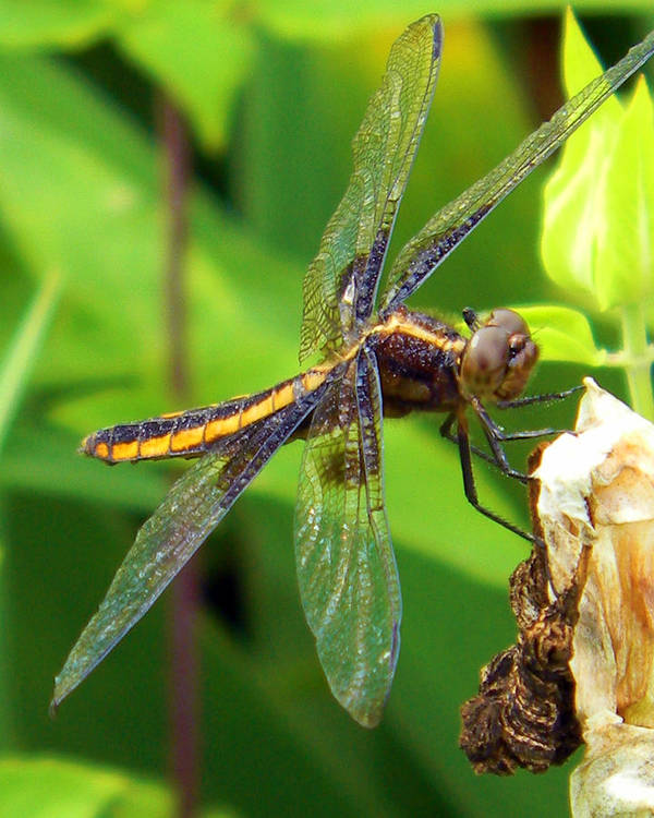 Dragonfly Art Print featuring the photograph Striped Dragonfly by Mark J Seefeldt