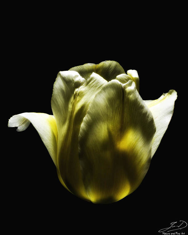 Tulip Art Print featuring the photograph Tulip by Ian Dean
