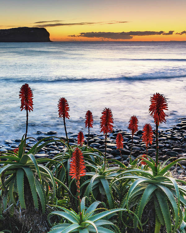 Aloe Vera Art Print featuring the photograph Aloe Vera In Flower At The Seaside by Merrillie Redden