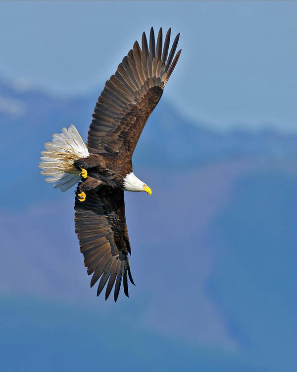 American Art Print featuring the photograph American Blad Eagle On The Wing by Gary Langley
