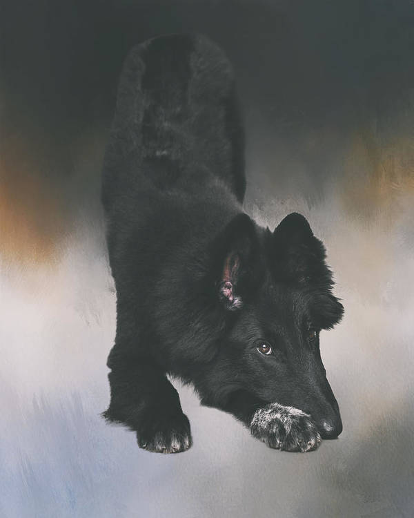 Belgian Sheepdog Puppy Art Art Print By Wolf Shadow Photography