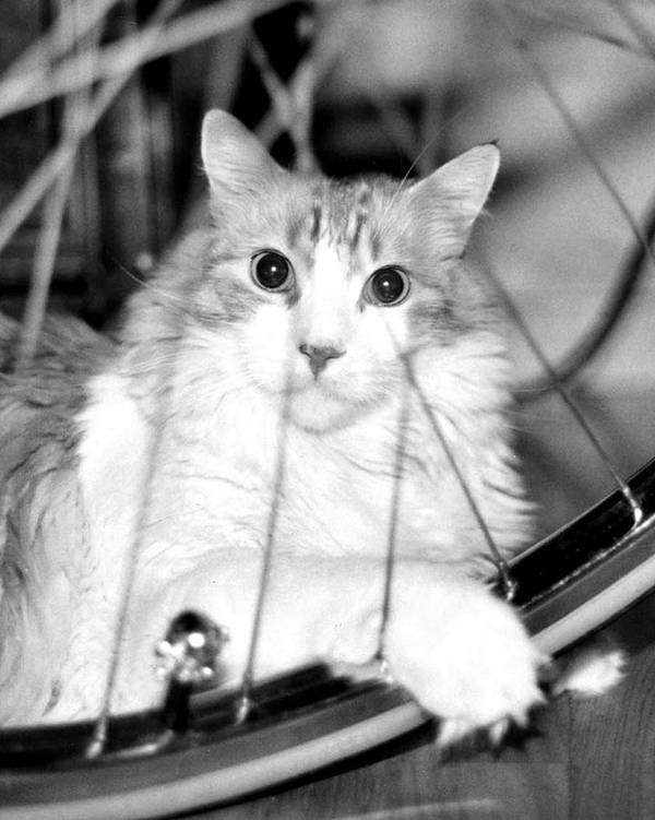 Cats Art Print featuring the photograph Bicycle by Heather S Huston