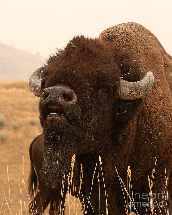 Bison Art Print featuring the photograph Bison Bellowing At The Sky by Max Allen
