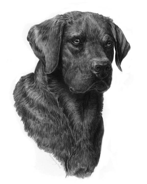 Graphite Art Print featuring the drawing Black Lab Head Study 2 by Laurie McGinley