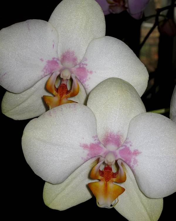 Orchid Art Print featuring the photograph Blush by Betnoy Smith