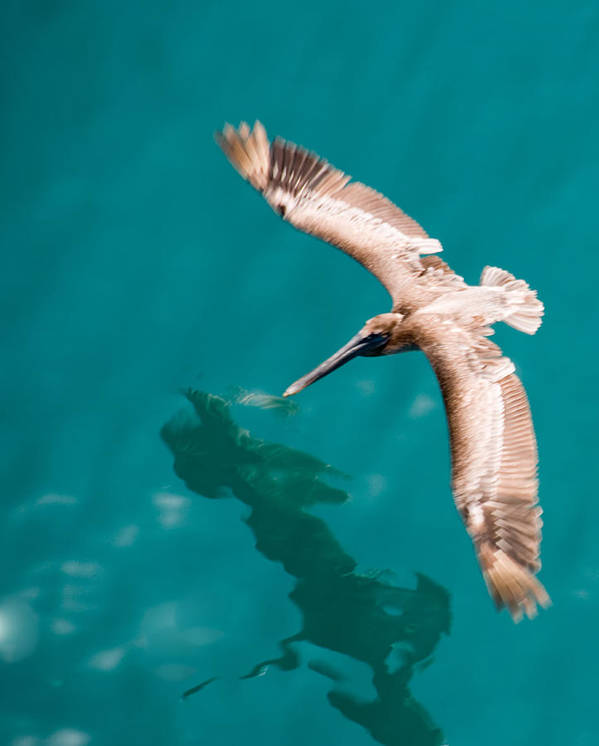 Pelican Art Print featuring the photograph Brown Pelican Offshore by Bill Perry