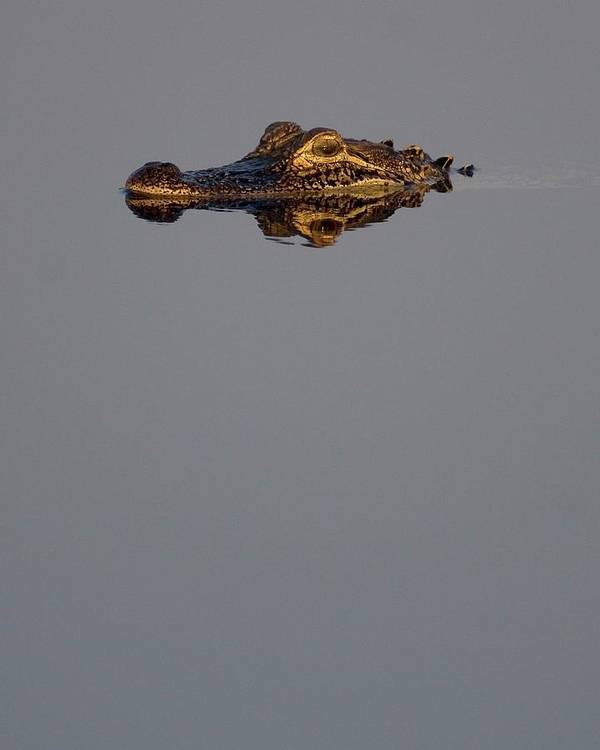 Alligator Art Print featuring the photograph Calm Gator by Jim McCallister