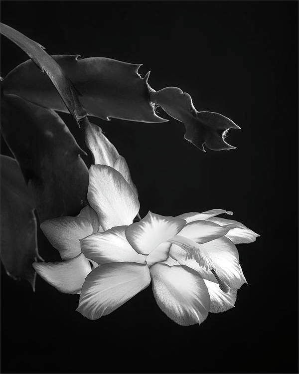 Christmas Art Print featuring the photograph Christmas Cactus 8938bw by Jerry Lohman