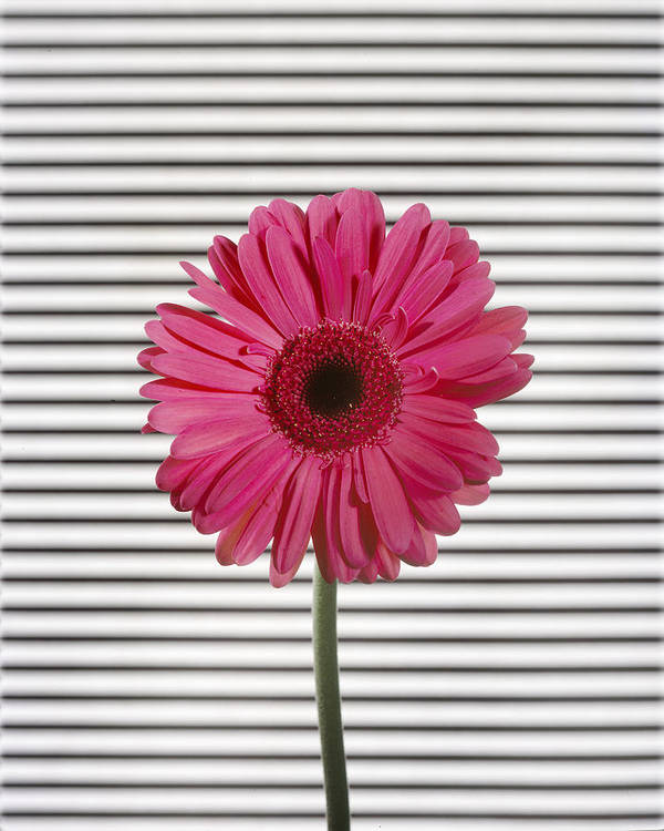Gerber Daisy Art Print featuring the photograph Flower With Lines by Jessica Wakefield