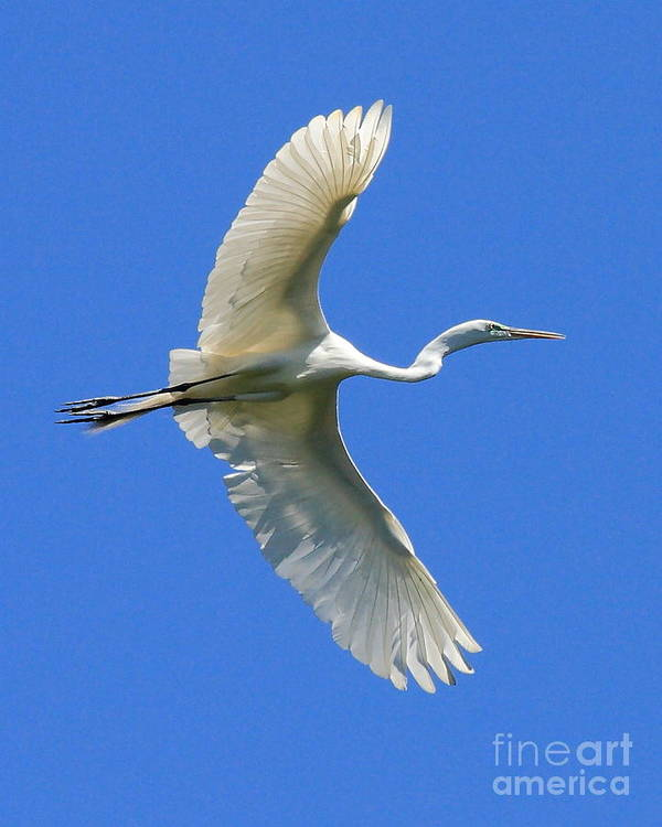 Animals Art Print featuring the photograph Great White Egret In Flight by Wingsdomain Art and Photography