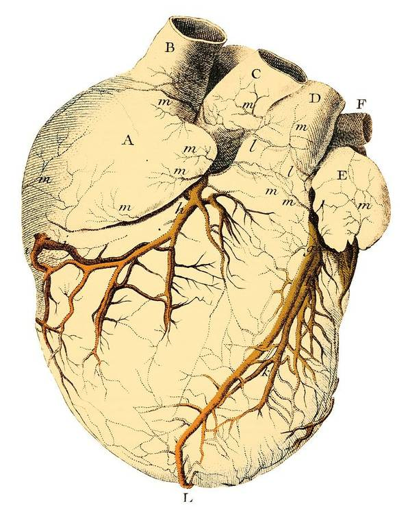 Heart Art Print featuring the photograph Heart Anatomy, 18th Century by