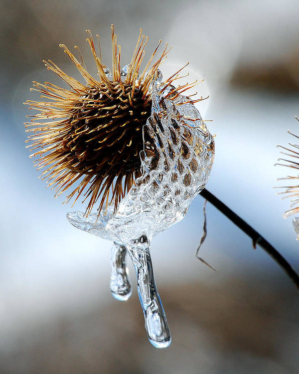 Nature Art Print featuring the photograph Ice On Burdox by Lisa Kane