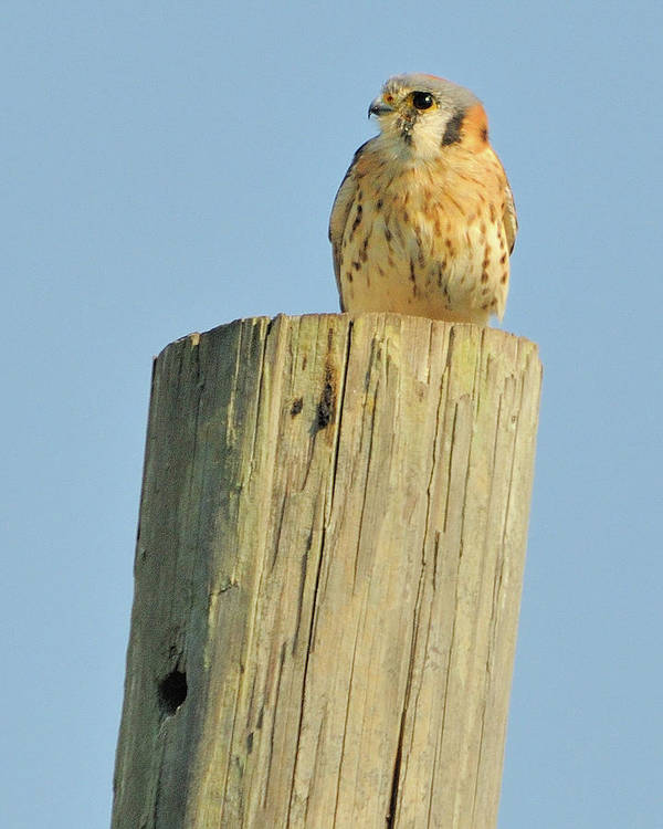 Kestrel Art Print featuring the photograph Kestrel On Post by John R Young Jr