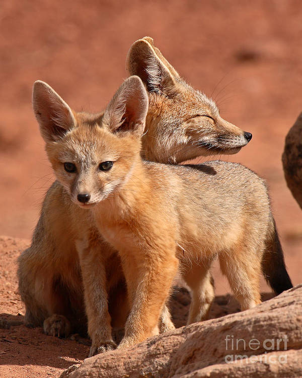 Fox Art Print featuring the photograph Kit Fox Mother Looking Over Pup by Max Allen