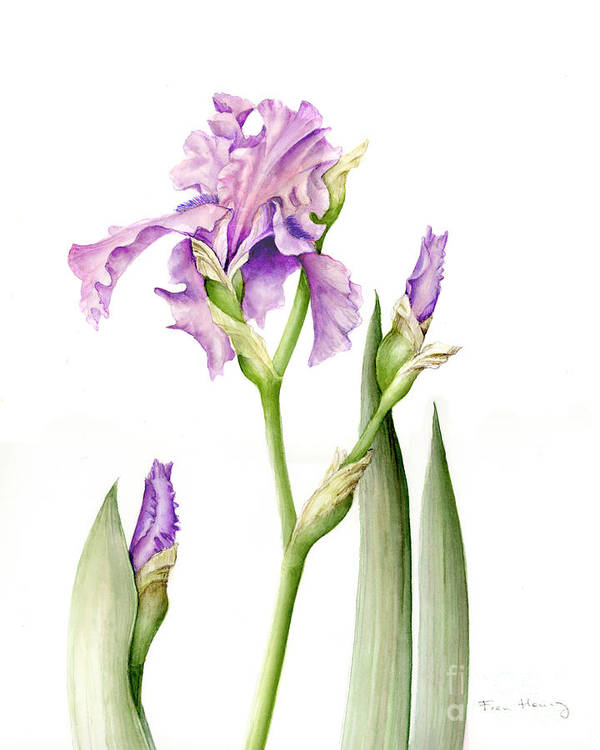 Botanical Art Print featuring the painting Magenta Iris by Fran Henig