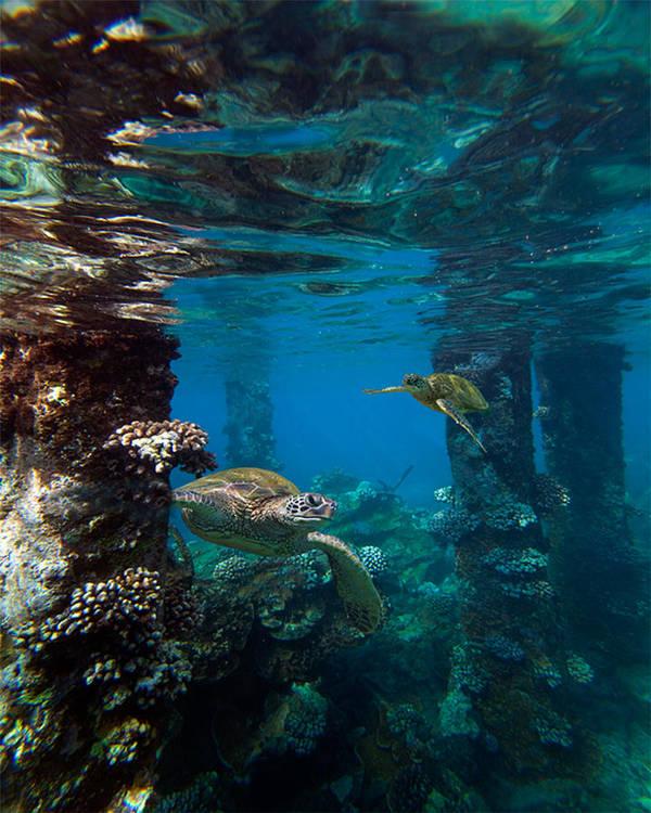 Maui Hawaii Mala Wharf Undersea Turtles Lahaina Pier Art Print featuring the photograph Mala Turtles by James Roemmling
