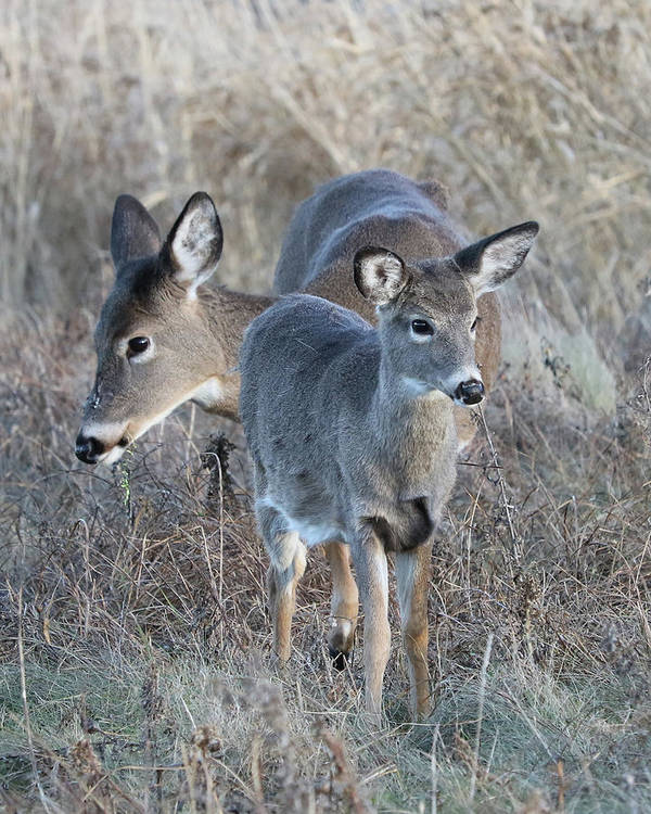 White-tailed Deer Art Print featuring the photograph Mother And Young by Doris Potter
