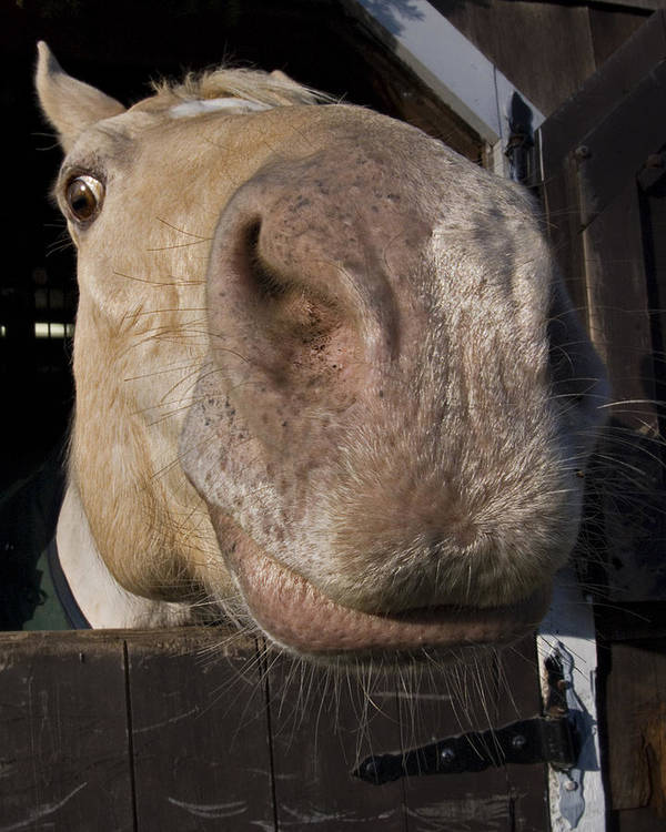 Horse Art Print featuring the photograph Nosey by Jack Goldberg