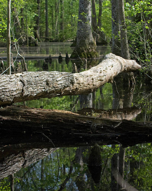 Swamp Art Print featuring the photograph On The Swamp by Alan Raasch
