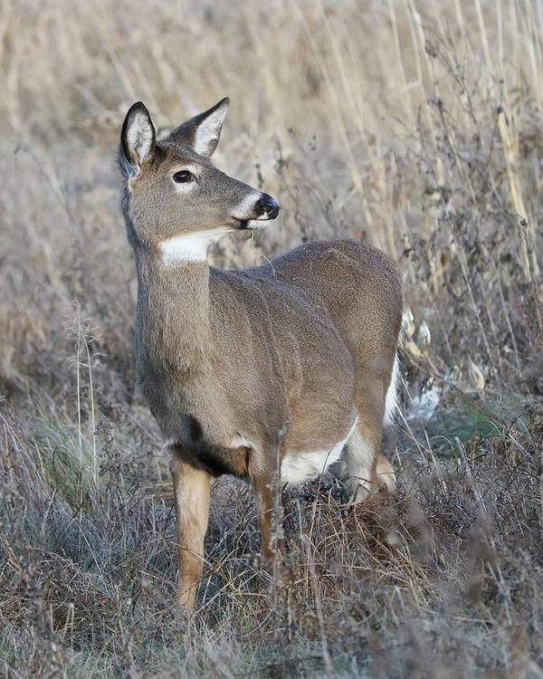 White-tailed Deer Art Print featuring the photograph Proud by Doris Potter