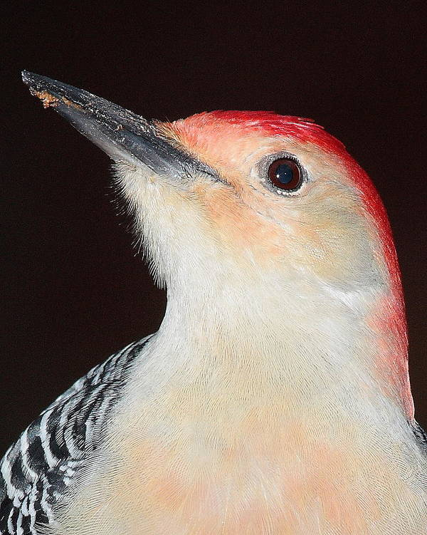 Bird Art Print featuring the photograph Red-bellied Up Close by Larry Federman