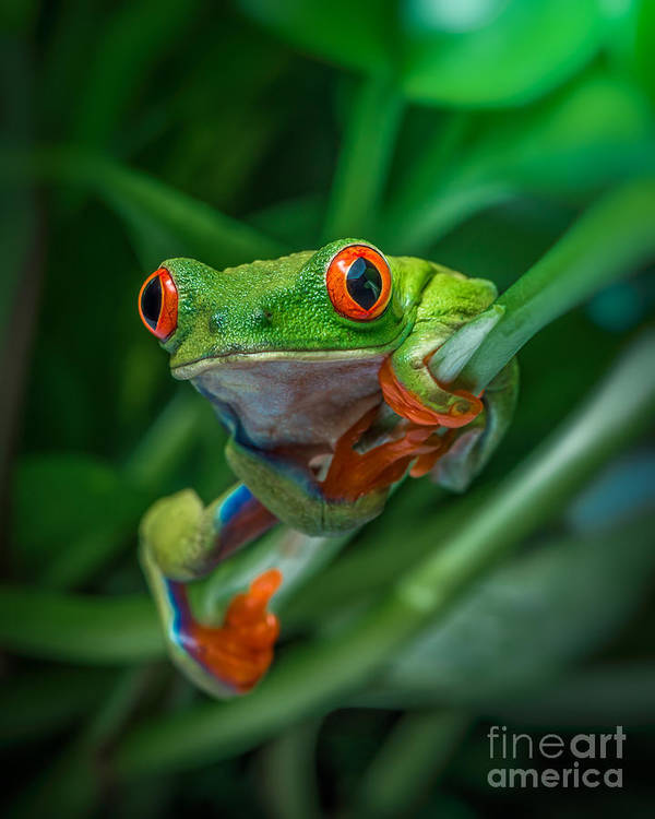 Royal Lion Jr Spaghetti Tank Red Eyed Tree Frog