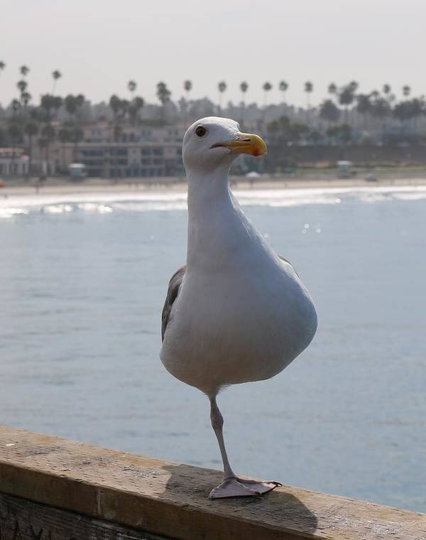 Sea Gull Art Print featuring the photograph Sea Gull On One Foot by Christy Pooschke