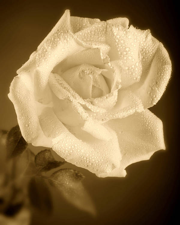 Rose Print featuring the photograph Sepia Rose With Rain Drops by M K Miller