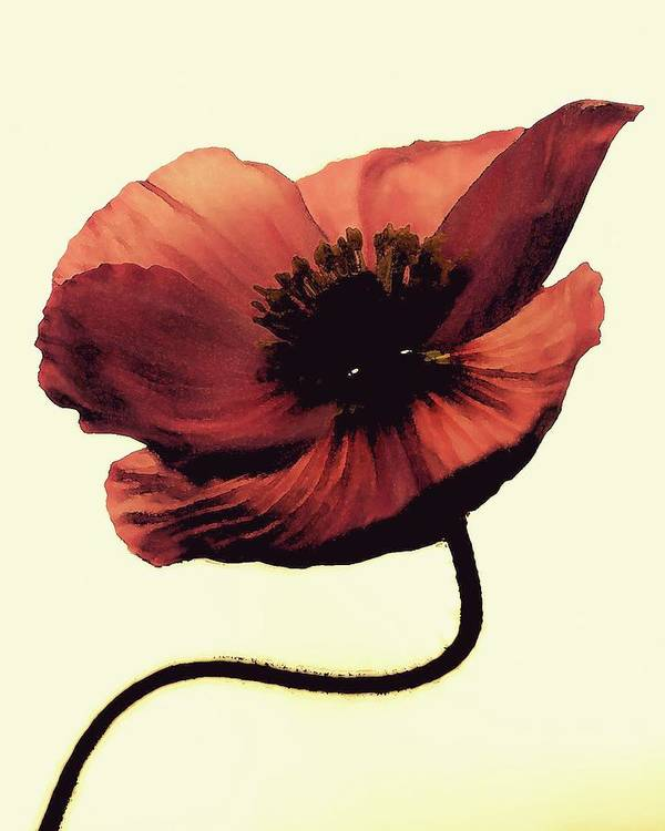 Poppy Art Print featuring the photograph Shadow Poppy by Amy Neal