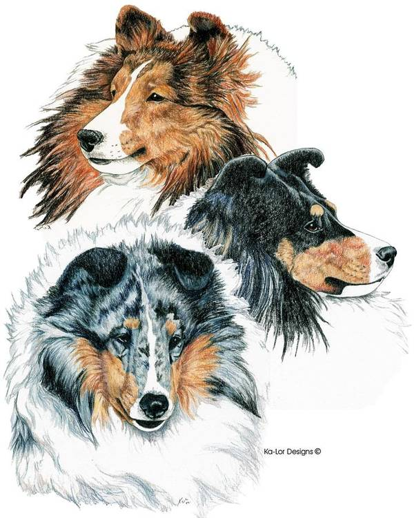 Shetland Sheepdog Art Print featuring the drawing Shetland Sheepdogs by Kathleen Sepulveda