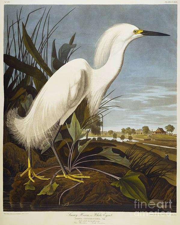 Snowy Heron Or White Egret / Snowy Egret (egretta Thula) Plate Ccxlii From 'the Birds Of America' (aquatint & Engraving With Hand-colouring) By John James Audubon (1785-1851) Print featuring the drawing Snowy Heron by John James Audubon