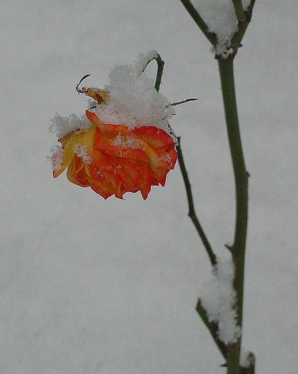 Flower Art Print featuring the photograph Snowy Orange Rose by Shirley Heyn