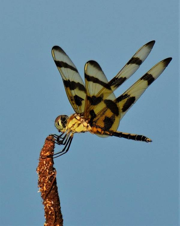 Dragonfly Art Print featuring the photograph Spotted Hunter by Chip Gilbert