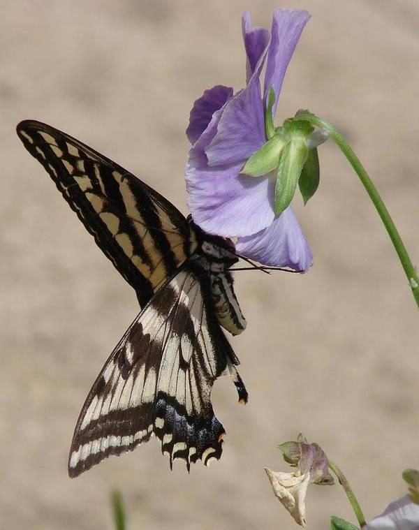 Butterfly Art Print featuring the photograph Swallowtail by Liz Vernand