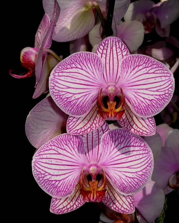 Orchid Art Print featuring the photograph Tickled Pink by Betnoy Smith