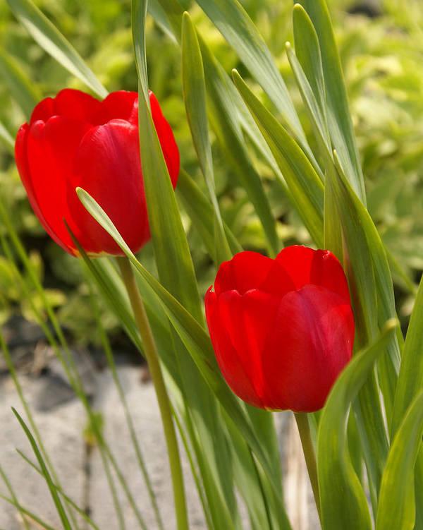 Tulip Art Print featuring the photograph Tulip Duo by Lisa Hebert