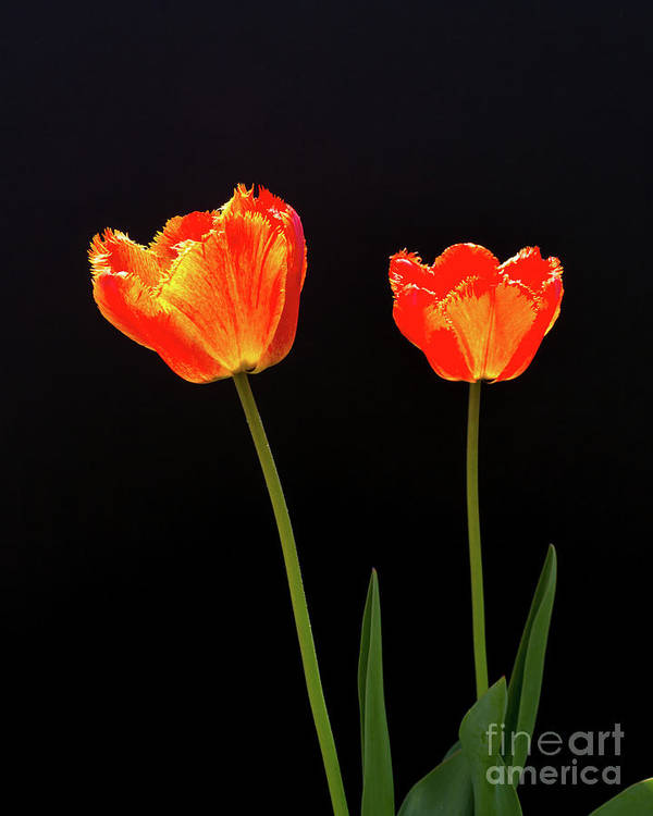 Still Life Art Print featuring the photograph Two Tulips by Robert Alsop
