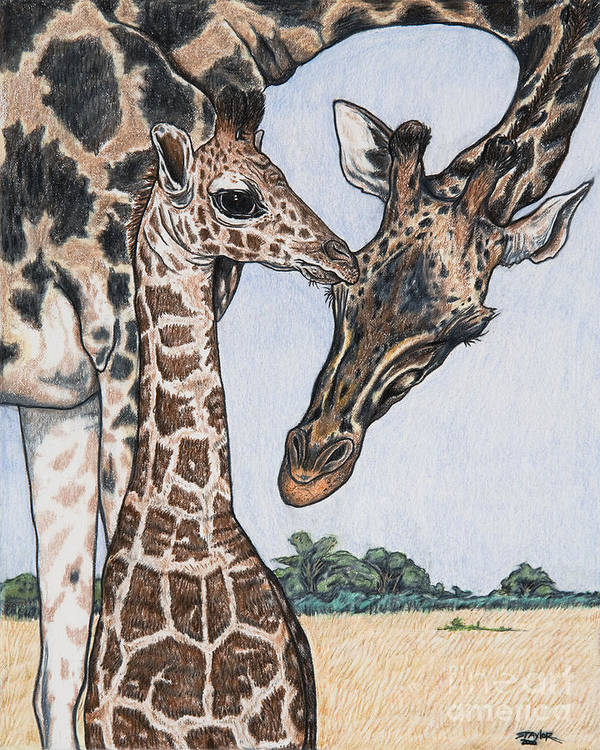 Giraffe Art Print featuring the drawing Watching Over by Stephen Taylor